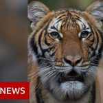 Coronavirus: Tiger at Bronx Zoo tests positive for Covid-19 – BBC News