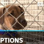 More people adopting pets during coronavirus pandemic | ABC News