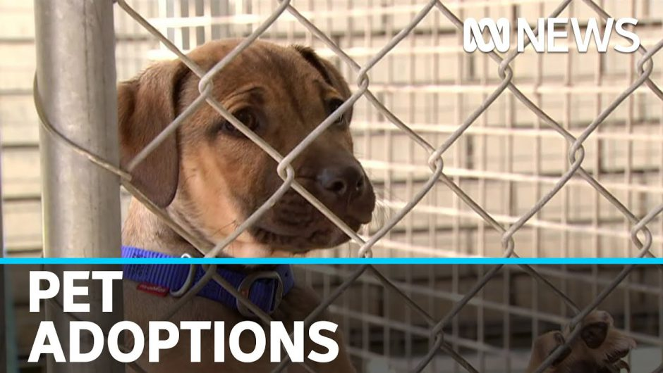 More people adopting pets during coronavirus pandemic | ABC News