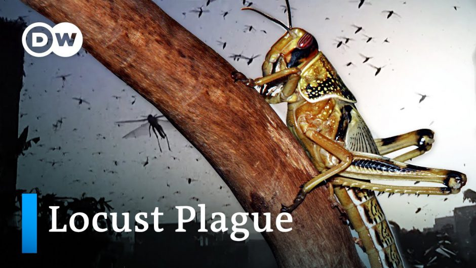 Why we're seeing the worst locust invasion in decades and how Covid-19 exacerbates it   DW Analysis