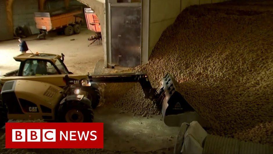 Coronavirus: Potato mountains and rotten cheese – BBC News