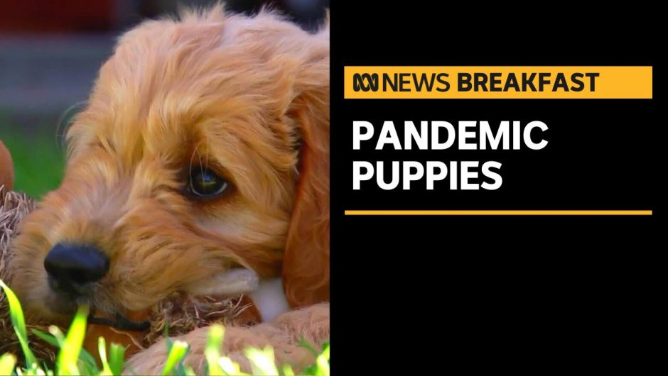 People paying oodles for designer puppies as demand surges during coronavirus pandemic | ABC News