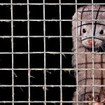 Not fur sale – Covid-19 ends Dutch mink farming | Europe