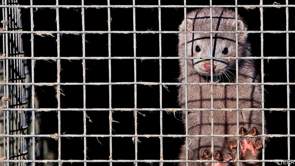 Not fur sale – Covid-19 ends Dutch mink farming   Europe