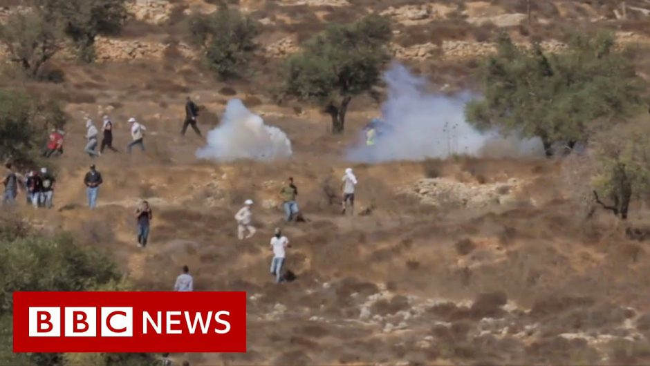 Olive harvest in jeopardy as tensions rise at the West Bank – BBC News