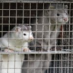 Coronavirus could drive the last nail into the mink fur trade