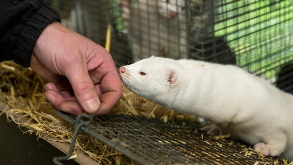 Mink and the Coronavirus: What We Know