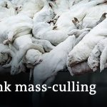 Denmark to cull up to 17 million minks to prevent spread of mutated coronavirus   DW News