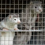 Denmark to cull up to 17m mink blamed for coronavirus mutation