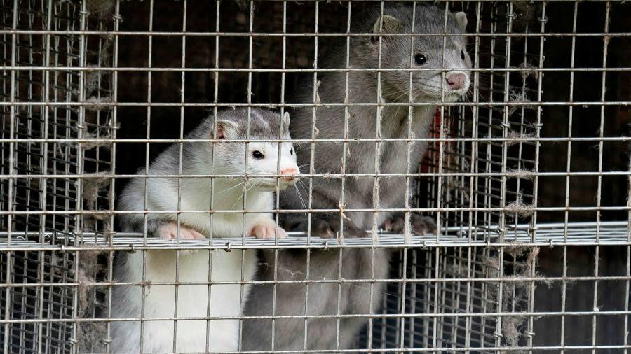 Denmark to cull up to 17m mink blamed for coronavirus mutation