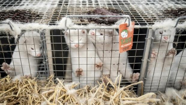 B.C. mink farm under quarantine after animals test positive for COVID-19