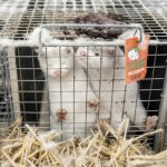 At least 200 mink dead after COVID-19 outbreak at B.C. fur farm