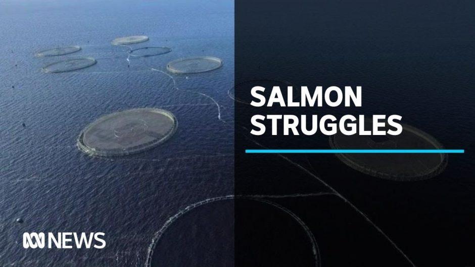 Tasmanian salmon farmer Huon Aquaculture hit hard by coronavirus | ABC News