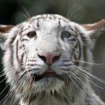 Two white tiger cubs in Pakistan zoo die of suspected COVID-19 infection