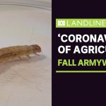 Farmers say fall armyworm, the 'coronavirus of agriculture', could force up food prices | ABC News