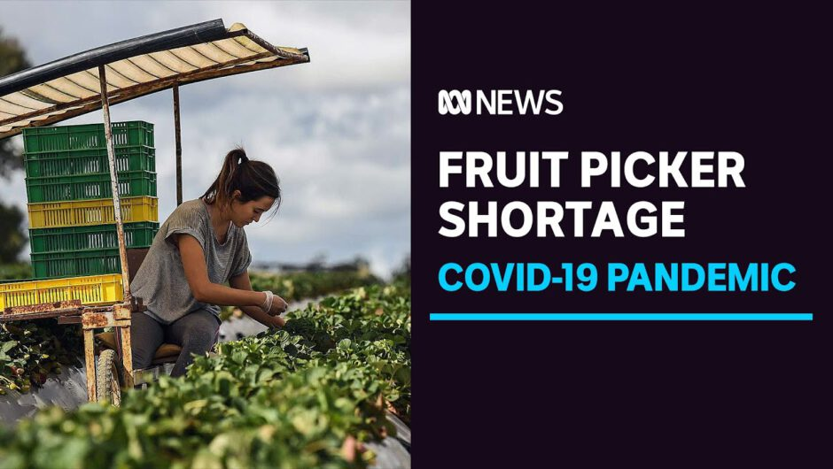 Strawberry prices could rise as farmers reduce crops amid COVID-19 labour shortage | ABC News